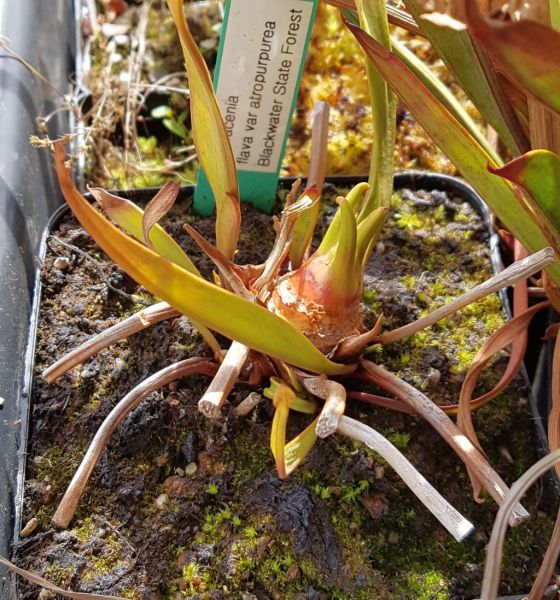 Schlauchpflanze Sarracenia flava var atropurpurea Blackwater State Forest