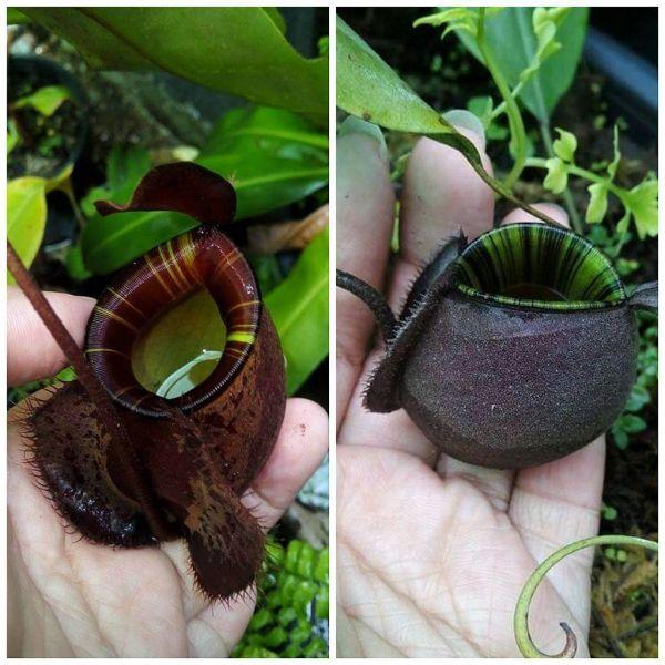 Nepenthes (Viking x ampullaria dark chocorate) x ampullaria black miracle 25 Samen, 01/2019