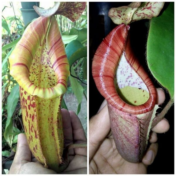 Nepenthes (veitchii x boschiana) x [glanduiferal x ( veitchii x eymae)] 25 Samen