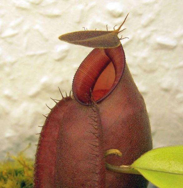 Nepenthes mirabilis var globosa x ampullaria Black Miracle dunkle Kannen 12cm+