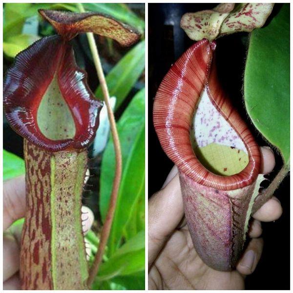 N. (veitchii x boschiana ) x (gladulifera x (eymae x veitchii)) 25 Samen, 02/2019