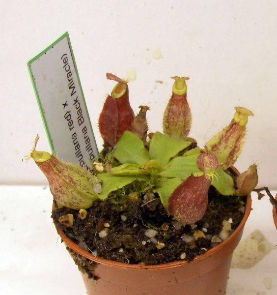 Nepenthes (Viking x ampullaria red) x (viking x ampullaria Black Miracle) Größe S