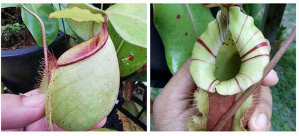 N. (viking x ampullaria green) x ((viking x ampullaria) x veitchii)