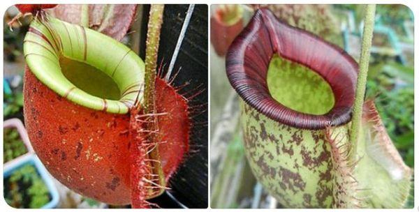 N.x Hookeriana x x Hookeriana 25 Samen, 10/2020