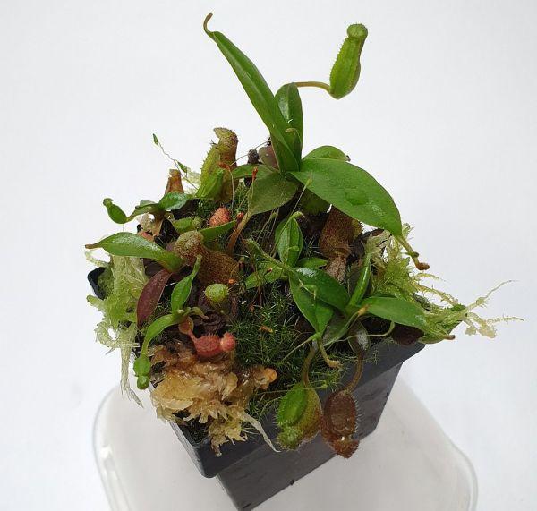 Nepenthes (izumiae x ramispina) x ((truncata x mira) x veitchii) ca. 5-7cm