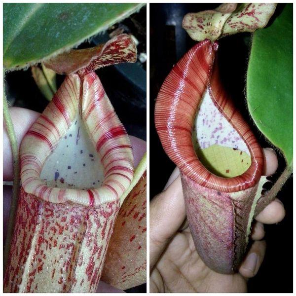Nepenthes (veitchii x boschiana) striped picher x [glanduiferal x ( veitchii x eymae)] 25 Samen, 0