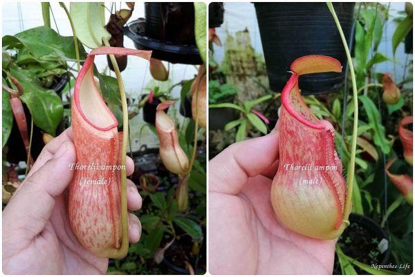 Nepenthes thorelii Àmpon`, 25 Samen, 11/2018