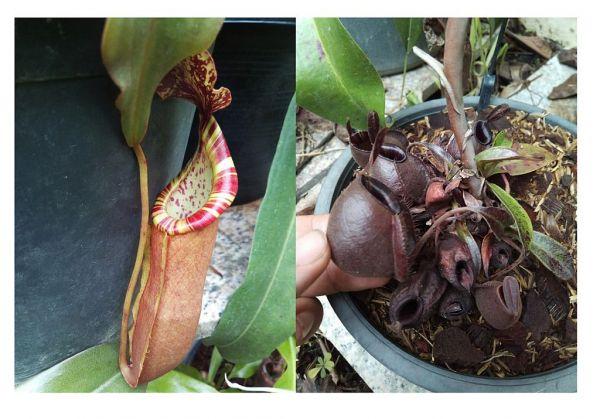 Nepenthes (mirabilis x veitchii) x (Viking x ampullaria Black Miracle), Samen 25, 09/2018