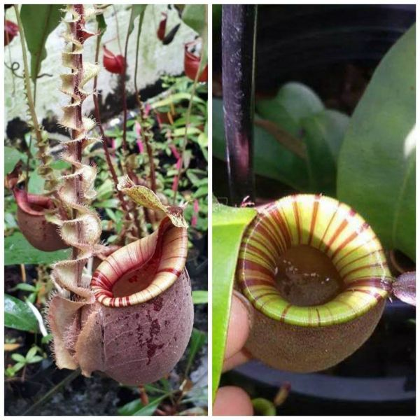 Nepenthes ampullaria striped x (mirabilis wing x (viking x Kuchingensis) 25 Samen 04/2019