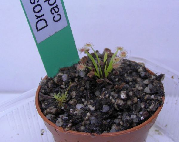 "Drosera caduca ""wide leaf, white flower"" {Bachsten Creek}"
