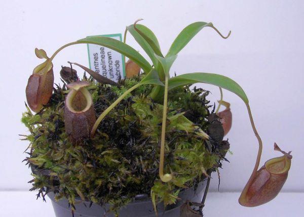 Nepenthes jacquelineae-Hybride Größe M 15cm