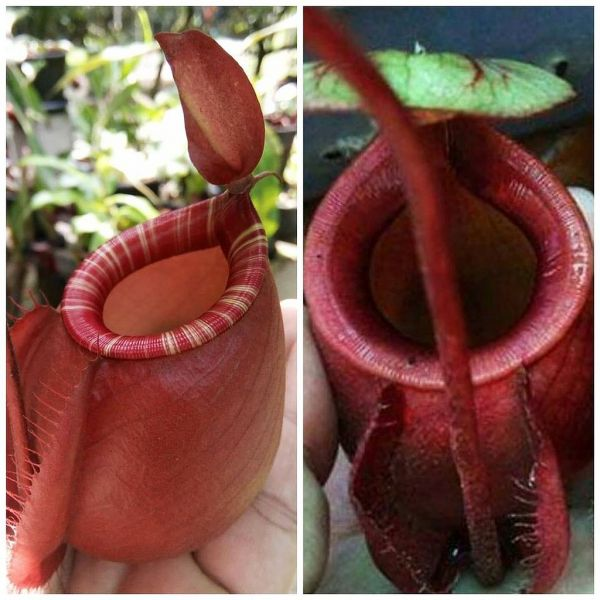 Nepenthes (Viking x ampullaria striped) x (Viking x ampullaria sphere) 25 Samen, 01/2019