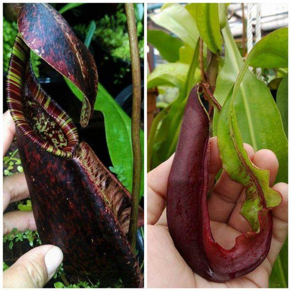 Nepenthes rafflesiana x mirabilis wing 25 Samen 04/2019