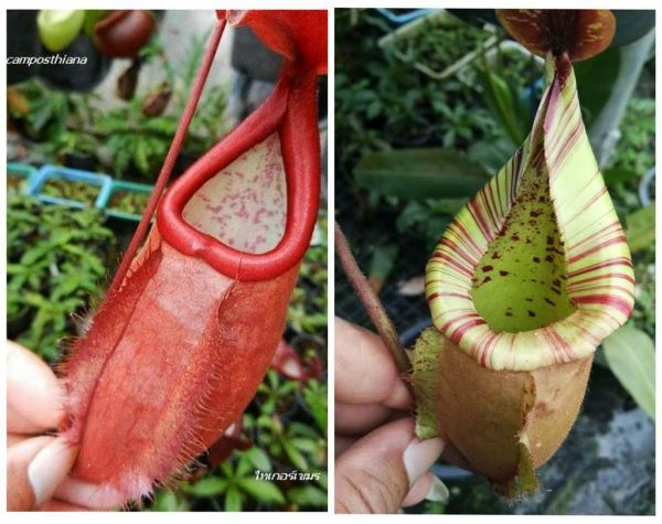 Nepenthes kampothiana x (viking x veitchii bario) 25 Samen 04/2019