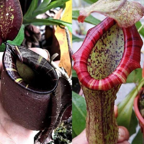 Nepenthes (viking x ampulllaria black miracle) x (spectabilis x ventricosa) 25 Samen, 01/2019