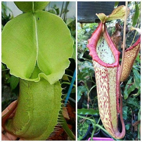 Nepenthes veitchii Lowland x Miranda 25 Samen, 02/2019