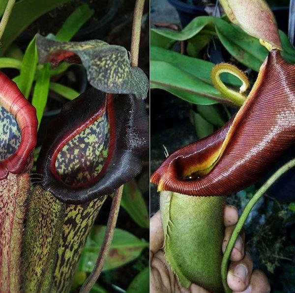 Nepenthes veitchii x boschiana 25 Samen, 02/2019