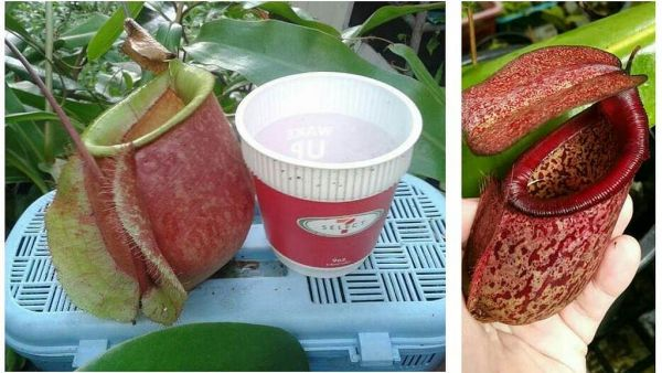 Nepenthes (Vikikng x ampullaria `giant) x merilliana, 25 Samen, 11/2018