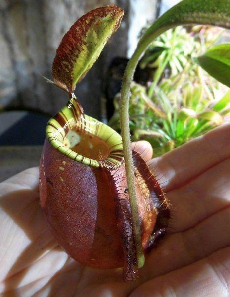 "Nepenthes rafflesiana ""dark"" x ampullaria ""Black Miracle"" 25cm+ dunkle Kannen"