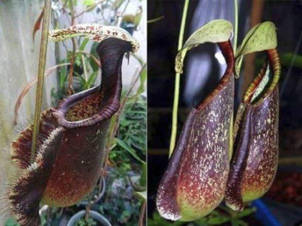 Nepenthes rafflesiana 25+ Samen Ernte 01/2019