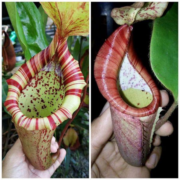 Nepenthes [(veitchii x boschiana) x northiana] x [glandulifera x (eymea x veitchii)] 25 Samen, 01/2