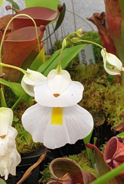 Wasserschlauch Utricularia alpina