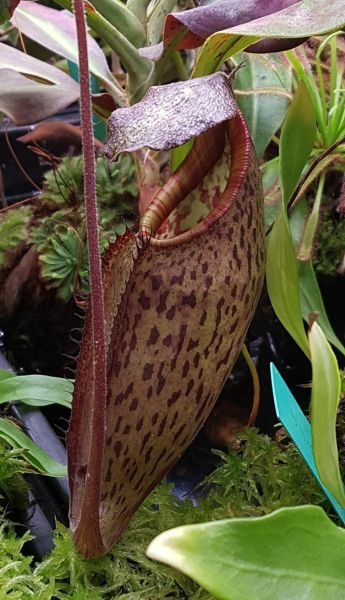 Nepenthes (thorelii x aristolochioides) x maxima wavy leaf ca. 7-10cm seed grown
