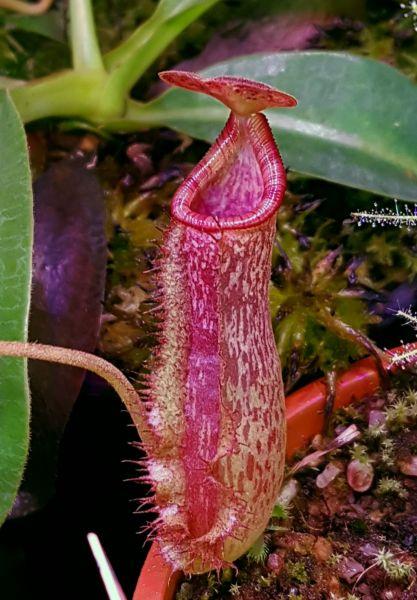 Nepenthes lowii x Mixta, (Mixta = northiana x maxima) 12cm+