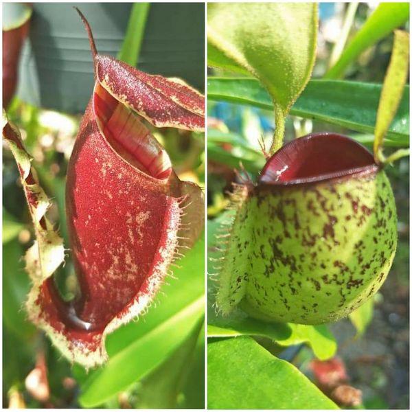N. (mirabilis wing x (viking x rafflesiana)) x ampullaria red spot 20 Samen 03/202211