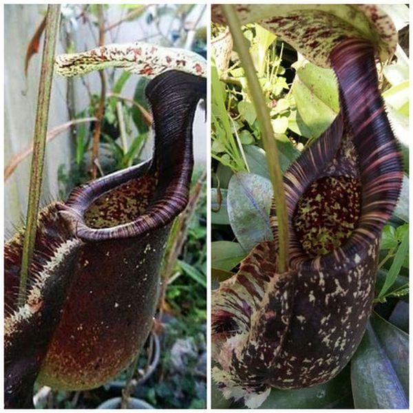 Nepenthes rafflesiana x rafflesiana 25 Samen, 05/2019