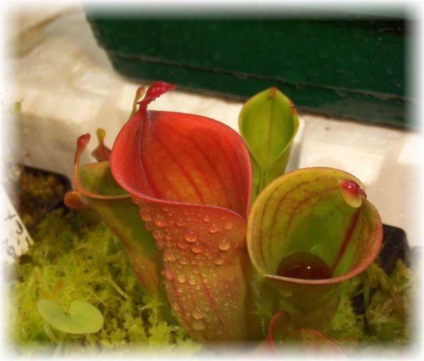 Heliamphora minor (Auyan Giant) M-L ca. 8-10cm, Sumpfkrug