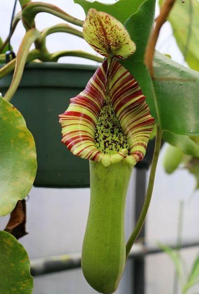 Nepenthes truncata 25 Samen 10/2019