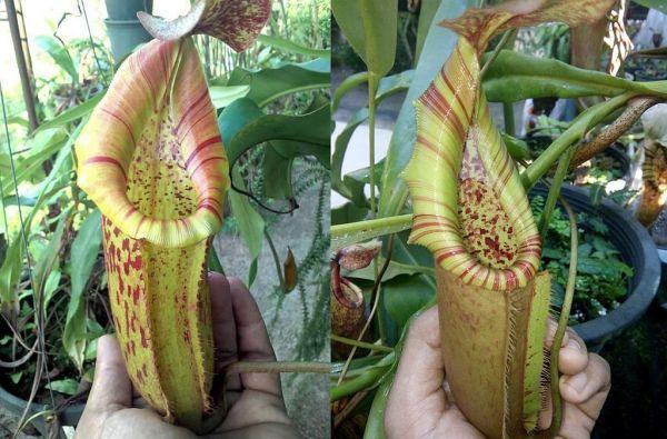 Nepenthes (veitchii x boschiana) x (northiana x veitchii) 25 Samen, 02/2019