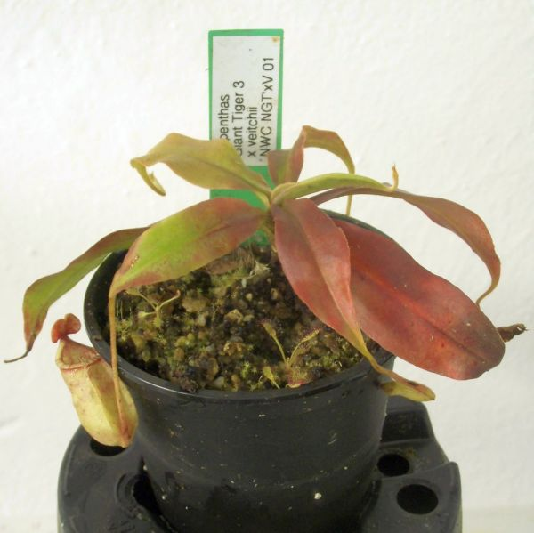 Nepenthes Giant Tiger 3 x veitchii ca. 7-10cm