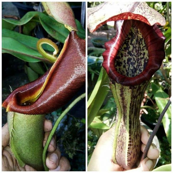 Nepenthes veitchii Lowland x boschiana 25 Samen, 01/2019