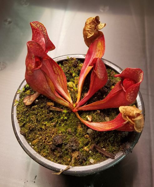 Schlauchpflanze Sarracenia purpurea kompakte rote Form