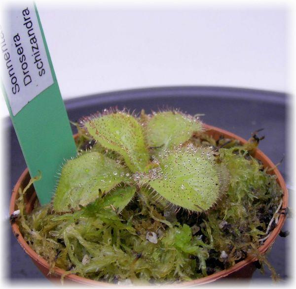 Drosera schizandra (Sonnentau) Queenslanddrosera