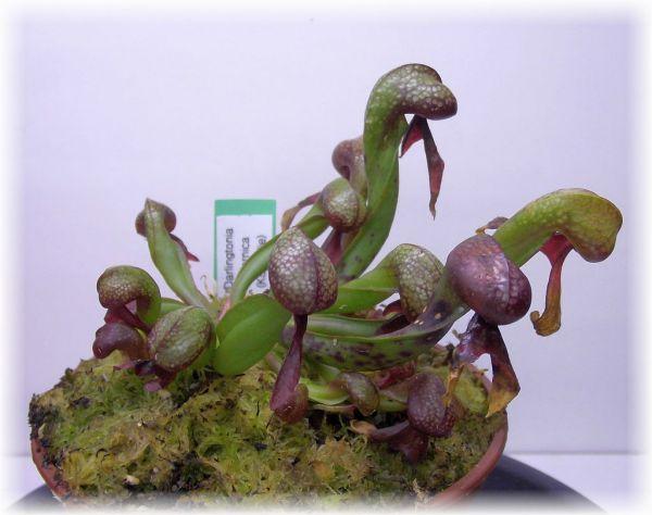 Darlingtonia carlifornica (Cobralilie) Größe L - S