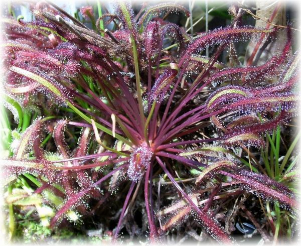 Drosera capensis (Sonnentau) Red-Form