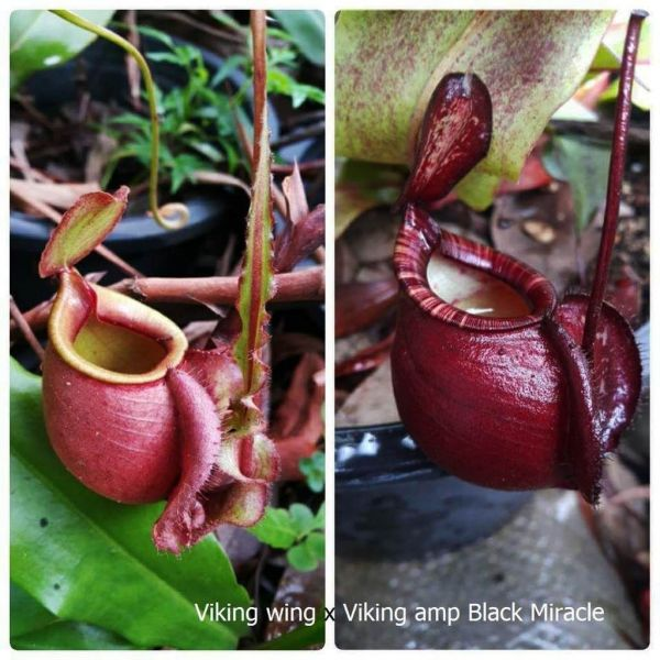 N. Viking winged x (Viking x ampullaria Black Miracle) 25 Samen, 02/2019
