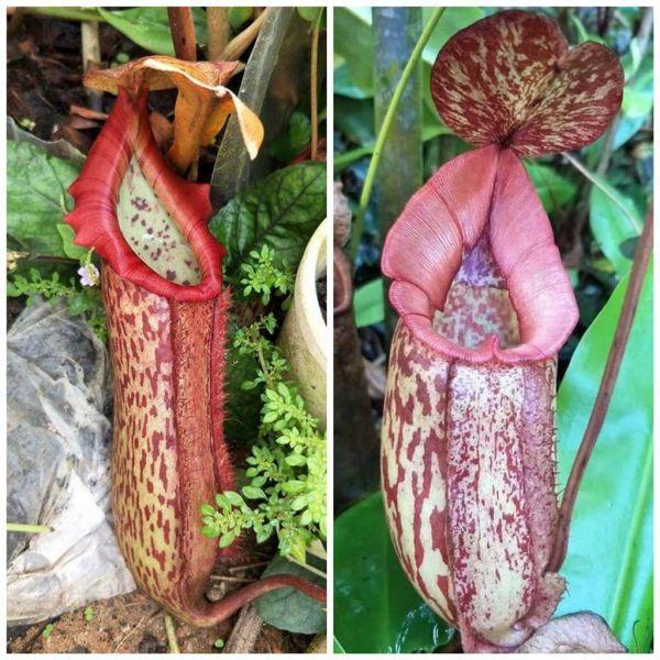 Nepenthes Miranda x Rokko 25 Samen 04/2019