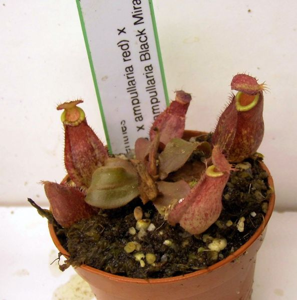 Nepenthes (Viking x ampullaria red) x (viking x ampullaria Black Miracle) rote Blätter Größe S