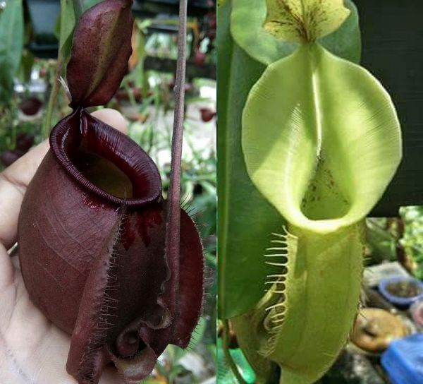 Nepenthes (Viking x ampullaria black miracle ) x (veitchii x fusca) 25 Samen, 01/2019