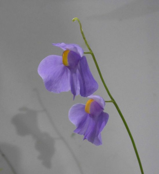 Wasserschlauch Utricularia longifolia