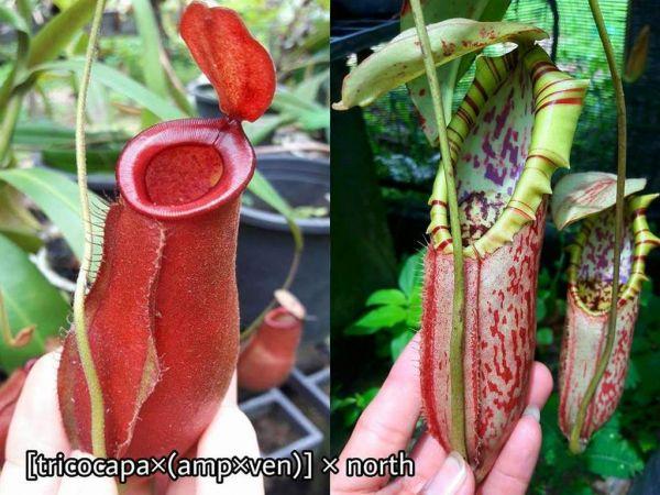 Nepenthes (Trichocapa x (ampullaria x ventricosa)) x northiana 25 Samen, 04/2019