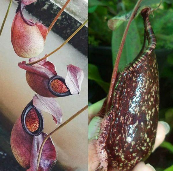 Nepenthes (viking x rafflesiana) x rafflesiana 25 Samen 04/2019