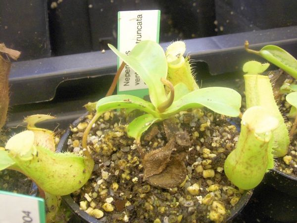 Nepenthes ventricosa x truncata highland red, ca 10-15cm