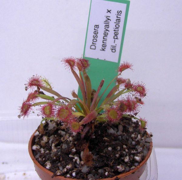 Drosera kenneallyi x dilatato-petiolaris Jungpflanze