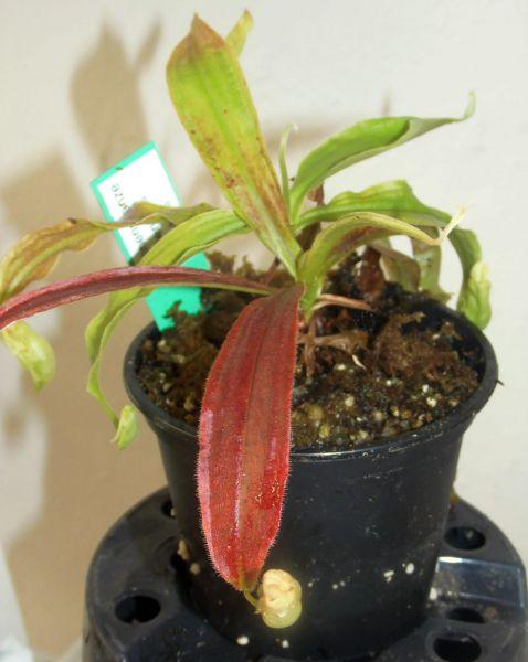 Nepenthes mirabilis, Größe ca 10-15cm