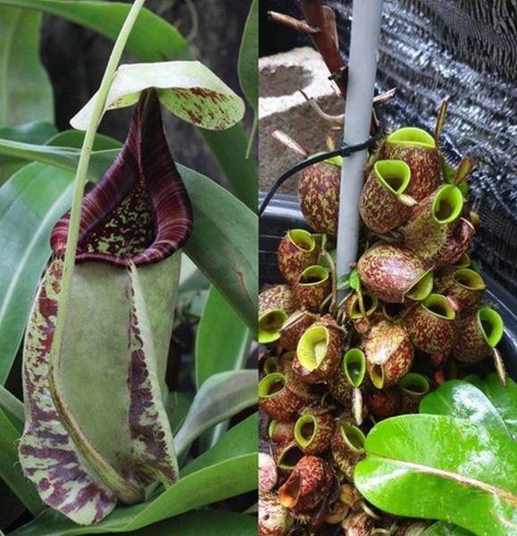 Nepenthes rafflesiana white x ampullaria Irian Jaya Giant 25 Samen 04/2019